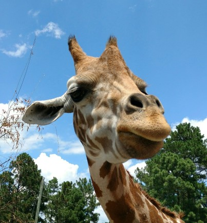 GiraffeHeadShot