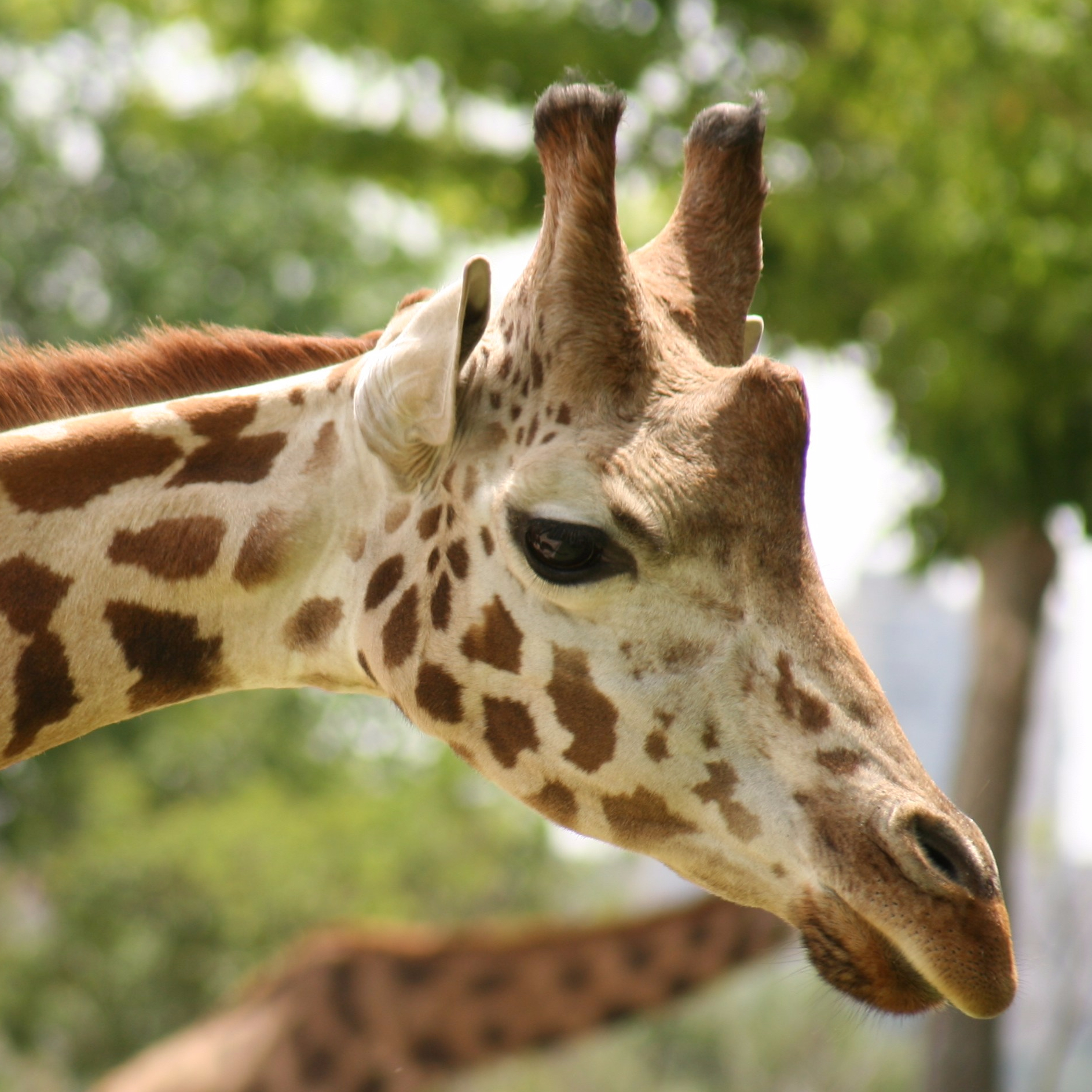 cropped-giraffe