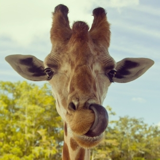 giraffe27s_tongue
