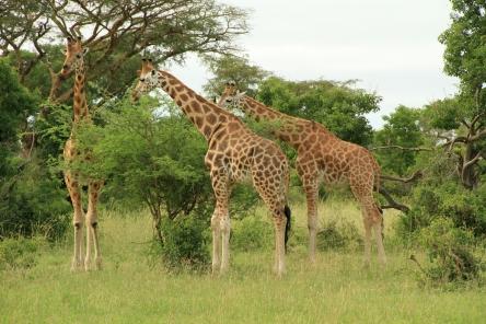 murchison_falls_giraffe