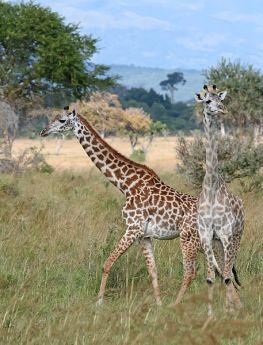 Giraffes_Mikumi_National_Park