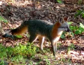 FoxLookingAway