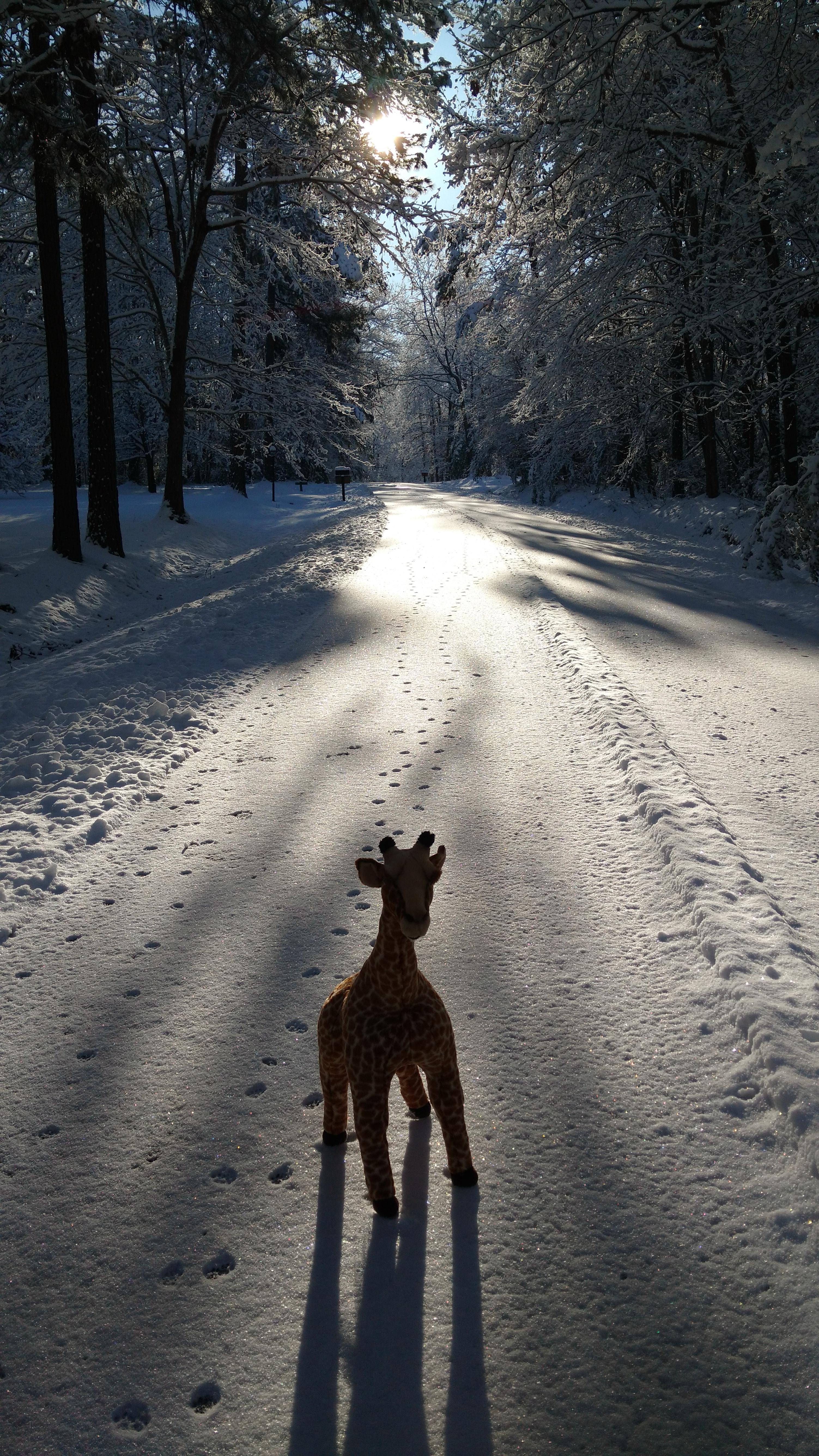 giraffe-pic